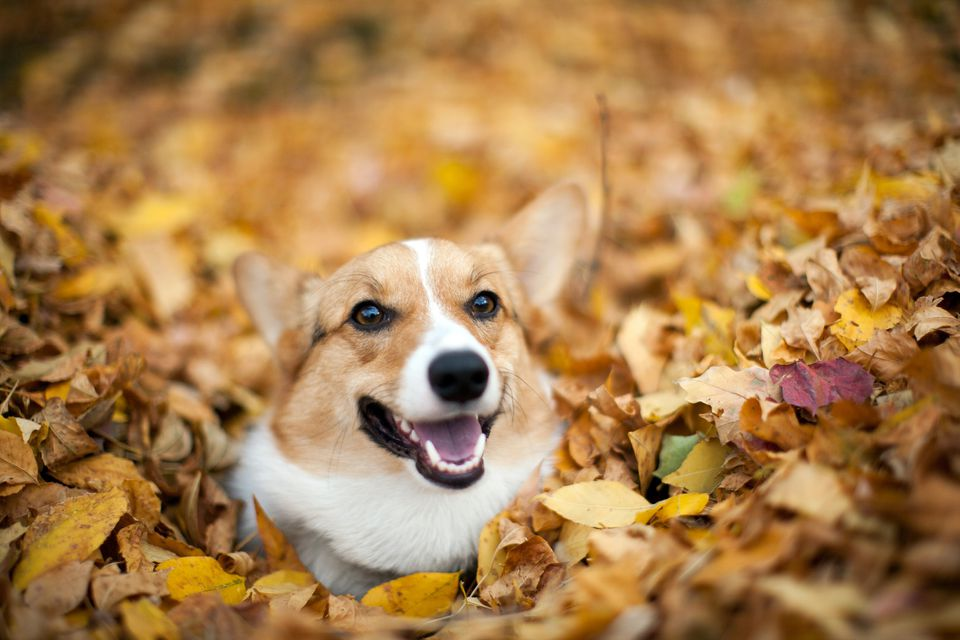 Corgi playing in the leaves