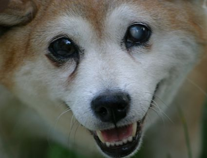Visually-impaired elder Shiba Inu mix