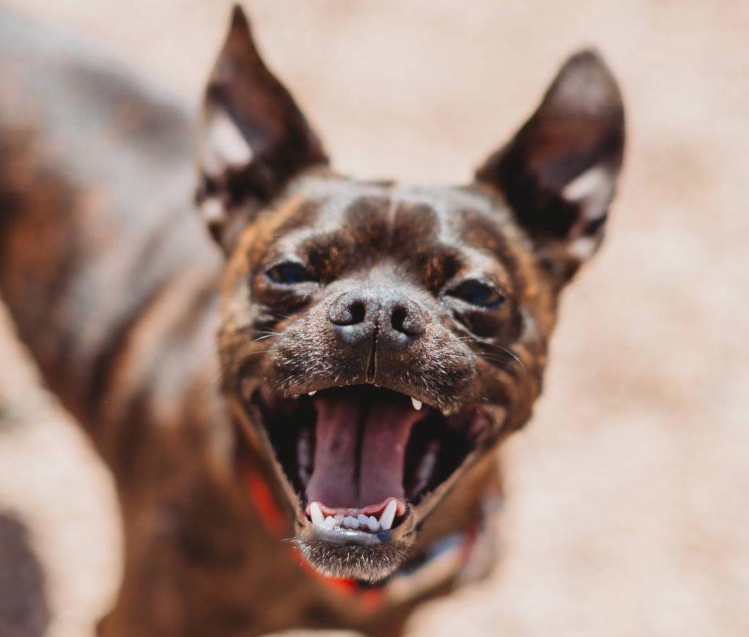 historia de adopción de perros frijoles