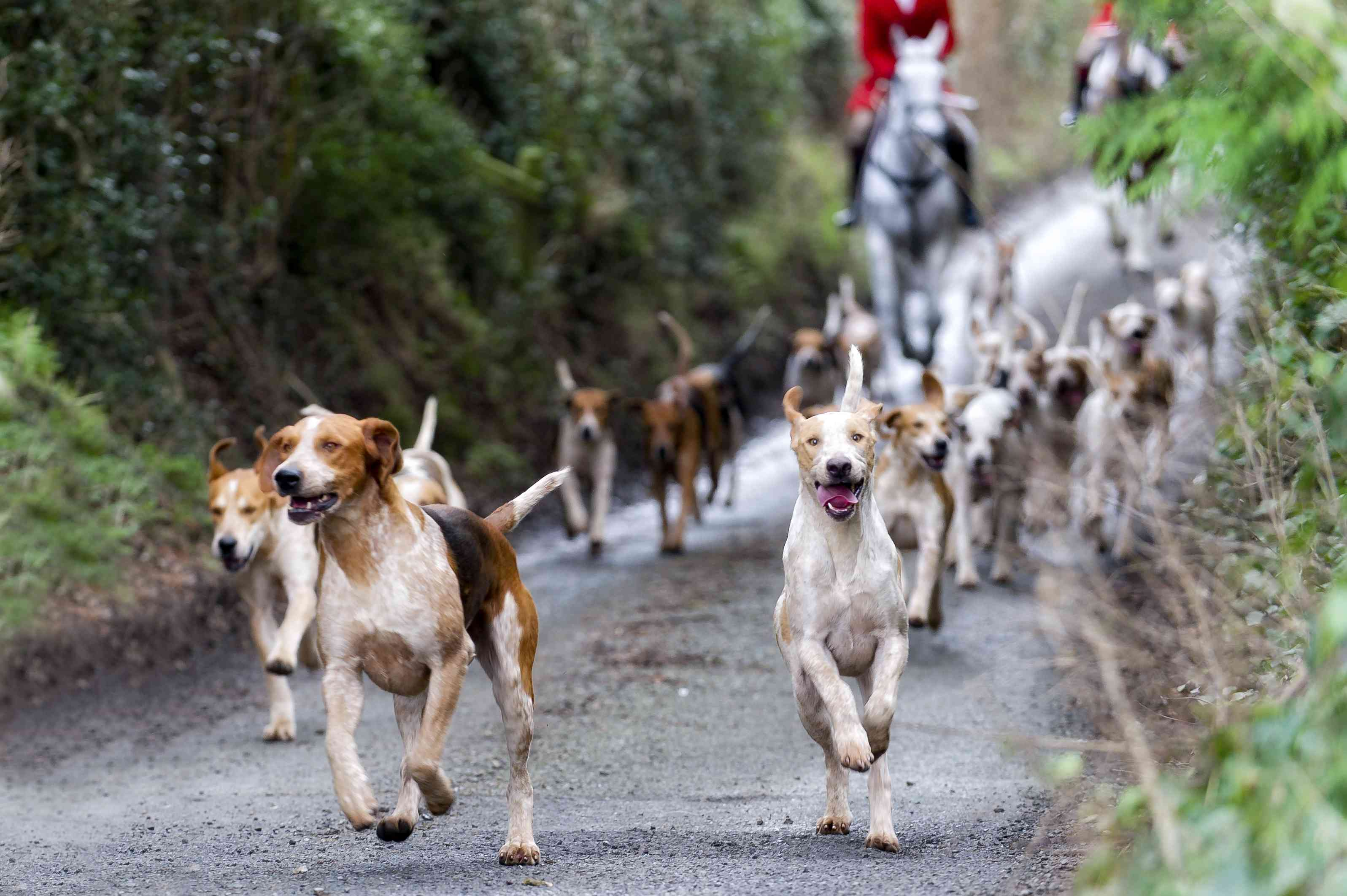 American foxhounds in pursuit on a hunt