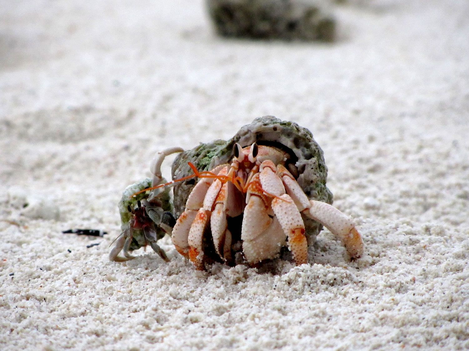 Do Land Hermit Crabs Make Good Pets