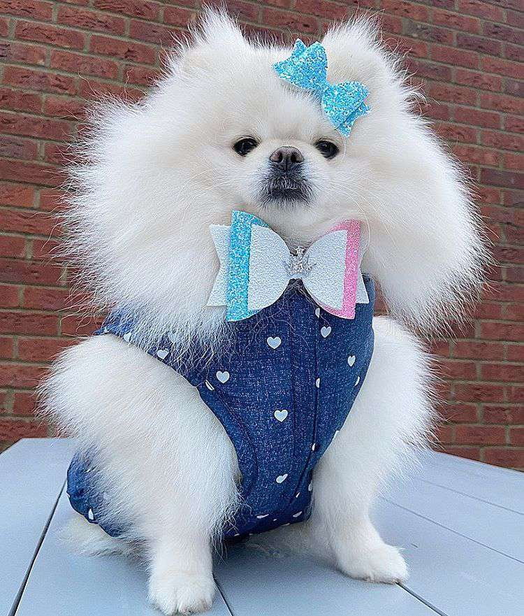 A fluffy white pomeranian in a blue suit with hearts on it and a bow tie.