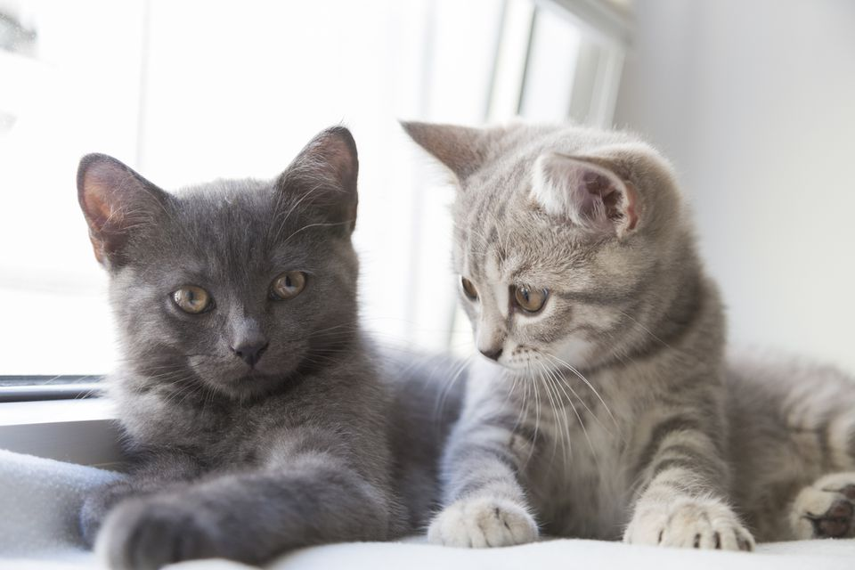 Two British shorthair kittens, one gray and one tabby