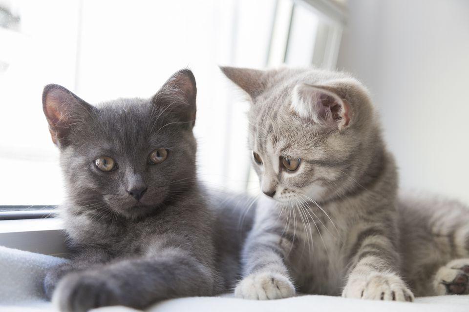 Dos gatitos británicos de pelo corto, uno gris y otro atigrado.