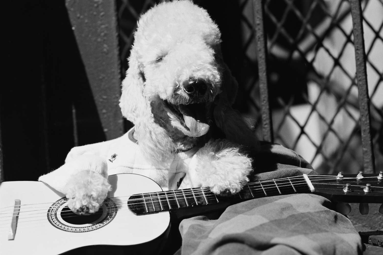 bedlington terrier playing guitar