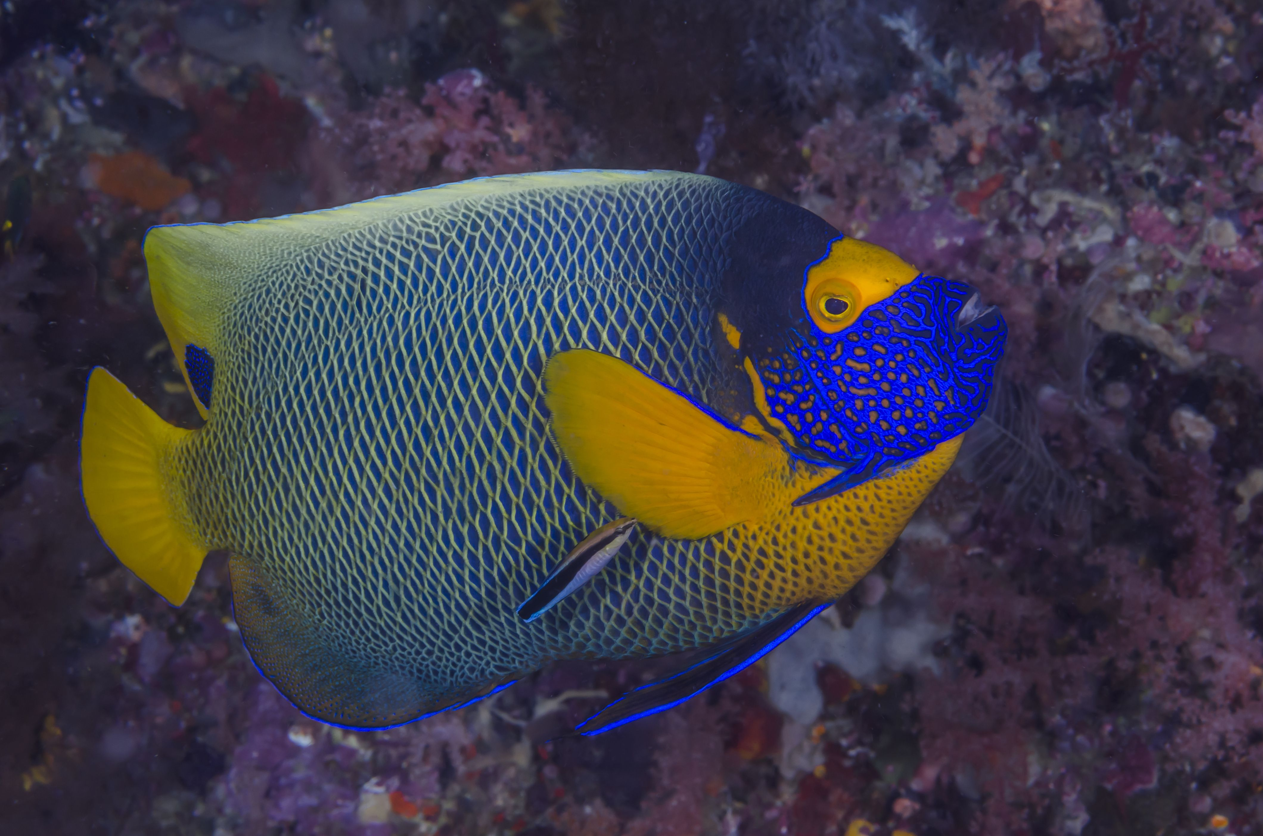 Pez ángel con máscara amarilla y pez limpiador de rayas azules