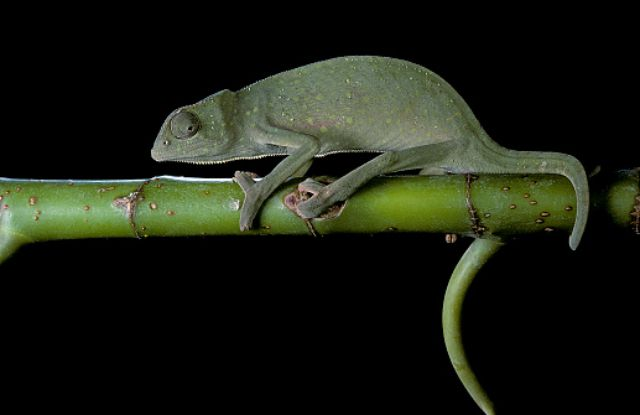 Chamaeleo senegalensis (Senegal chameleon)