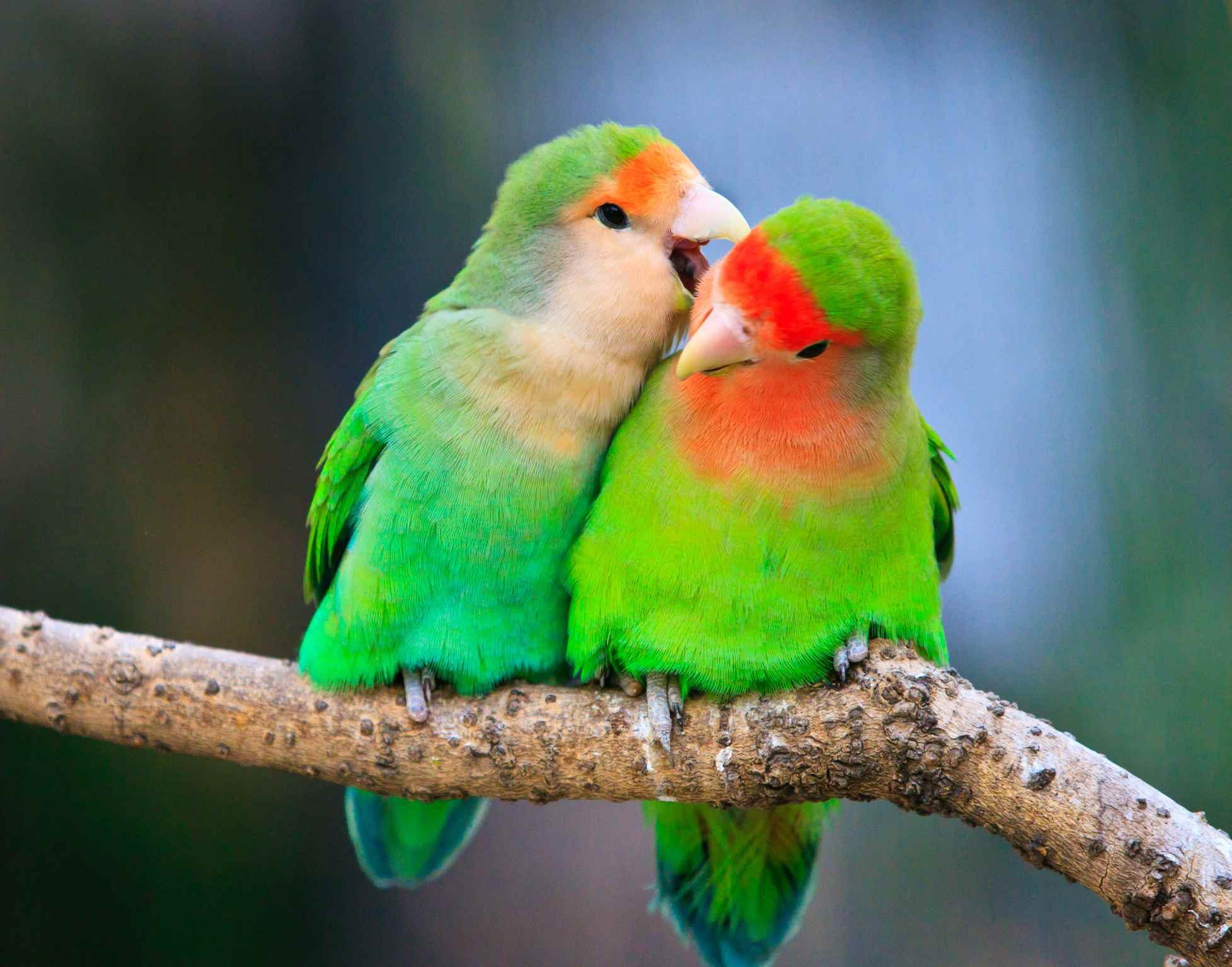Two peace-faced lovebirds