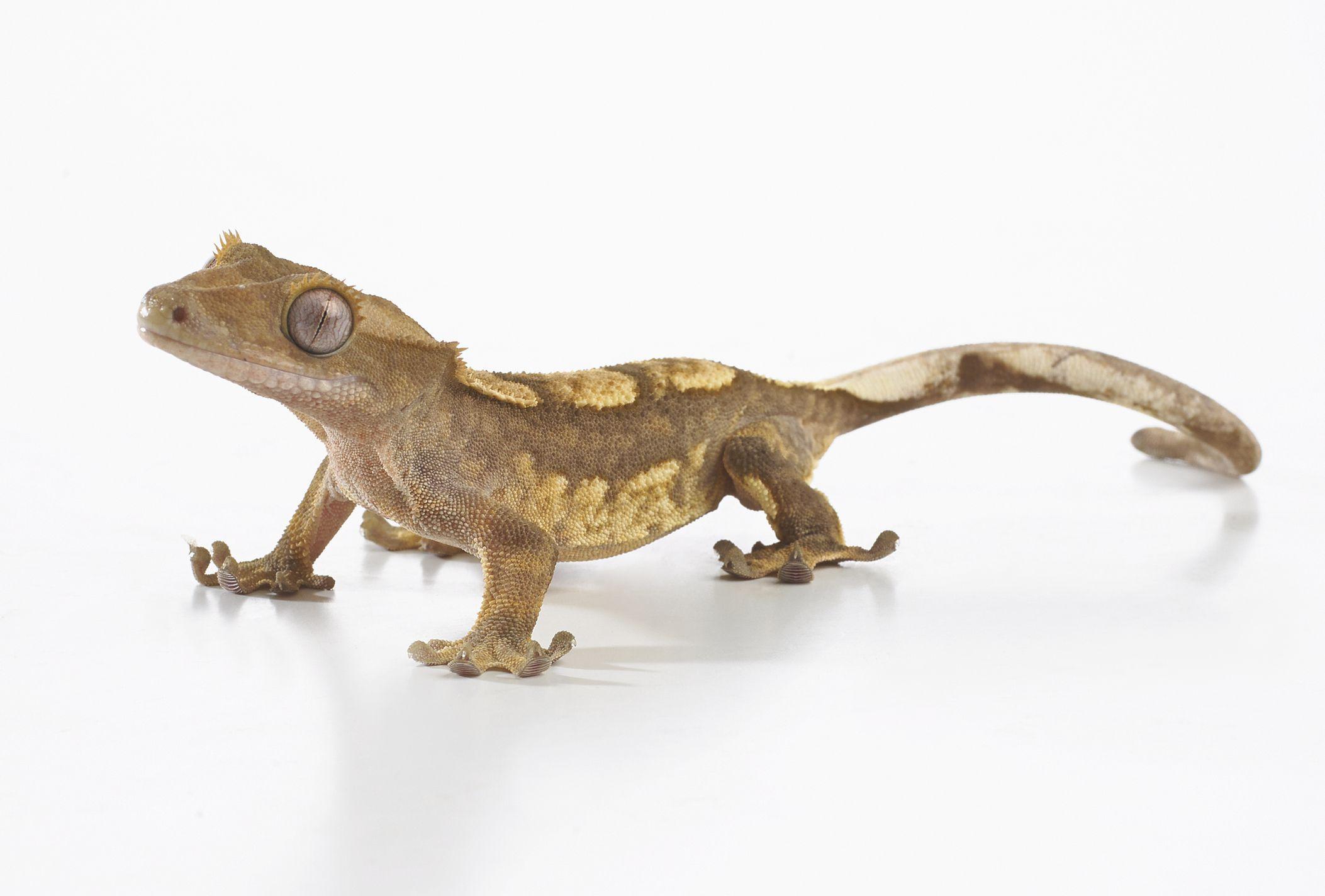 Gecko con cresta