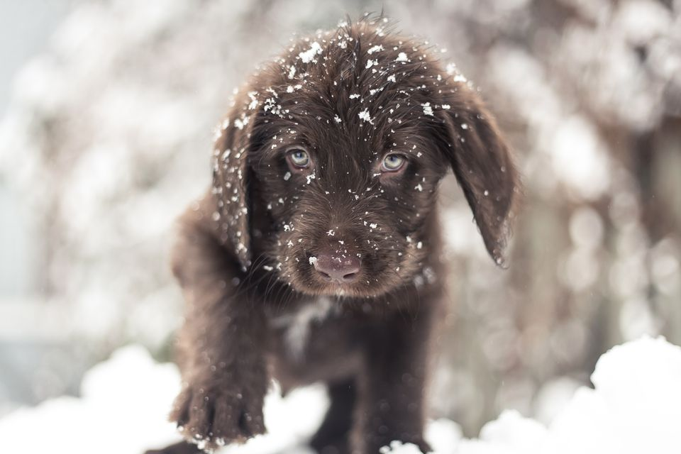A chocolate Labrador exploring snow in Montreal, Canada.