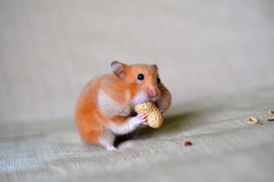 Primer plano de un hámster comiendo cacahuete