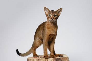 Abyssinian cat standing on a tree stump