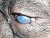 Un perro con entropión de el párpado inferior. Se han producido cicatrices en la córnea en este caso , Un perro mayor , Primer plano de la cara de un cachorro Shih Tzu , Mofeta rayada, Mephitis mephitis, en postura defensiva tratando de rociar un perro , Perros en sala de espera veterinaria (ilustración)
