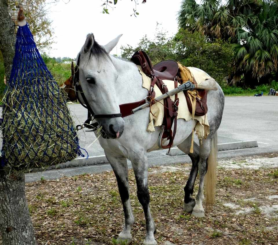Grey Florida Cracker Horse standing saddled for a hunting trip.