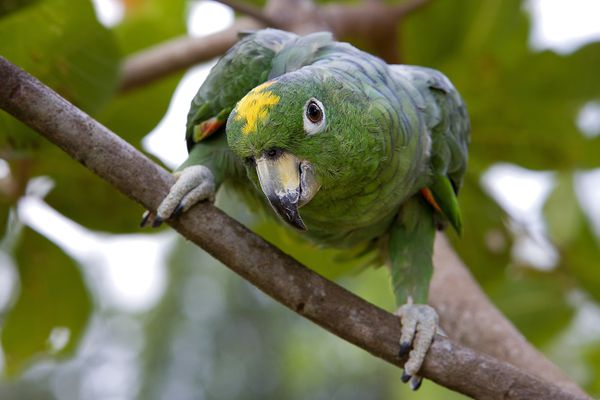 Portrait of a Parrot of French Guiana