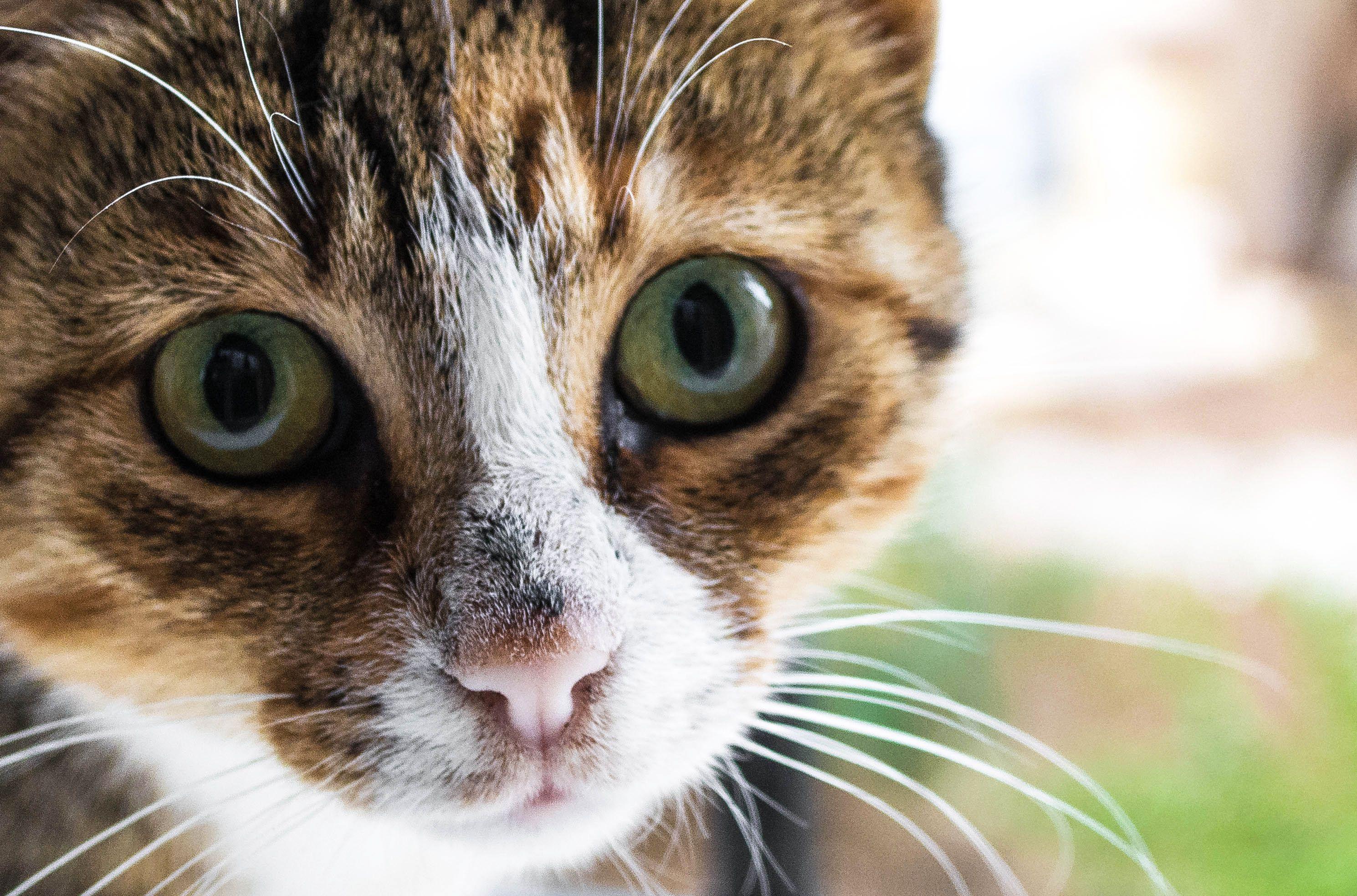 Primer plano de un cara de gato , Retrato de gato caminando en un campo cubierto de nieve , Gato que se hace un examen veterinario , Gato gris y blanco en el veterinario , Gatito persa y reflejo en la ventana , Gato rascándose la oreja , Veterinario dando una pastilla a un gato