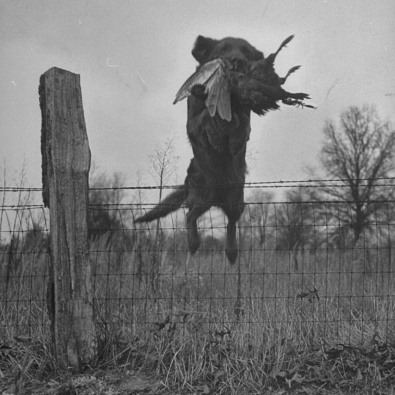 Diciembre de 1946: Golden retriever saltando sobre la cerca con faisán en su boca durante los juicios del National Retriever Club.