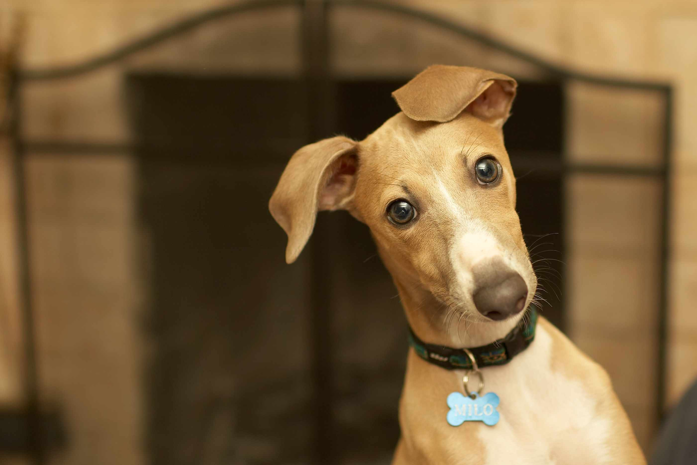 Light brown Italian Greyhound in collar and tag in front of unlit fireplace.