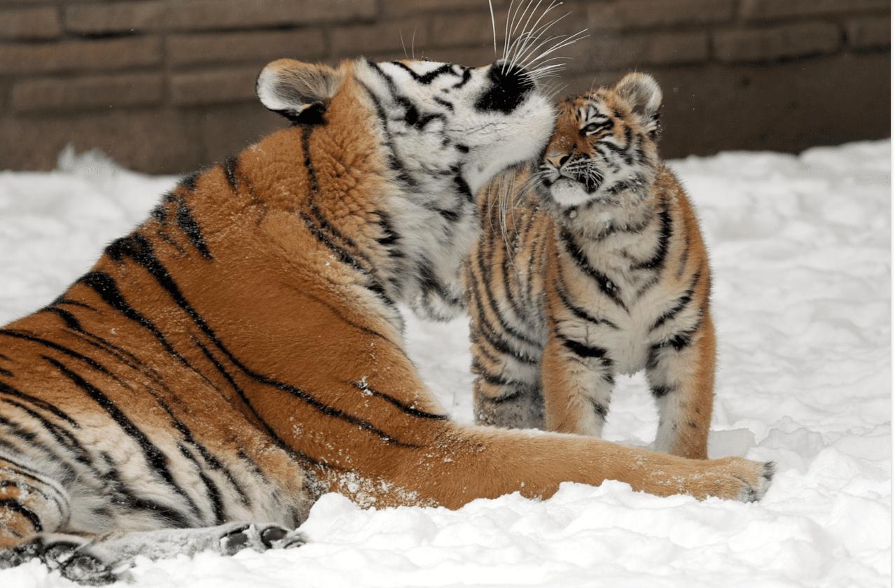 tigre y bebé tigre en la nieve