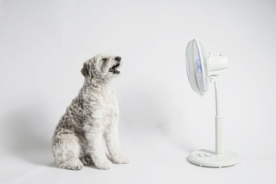 A dog cools off in front of an electric fan
