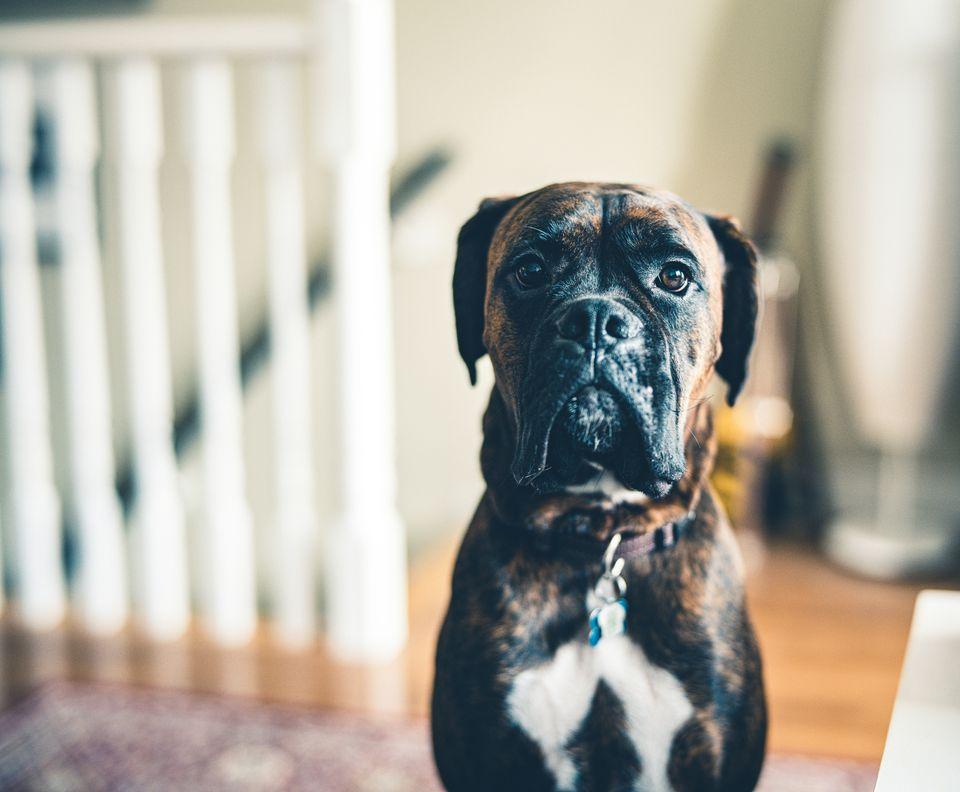 Un perro atigrado mirando a la cámara.
