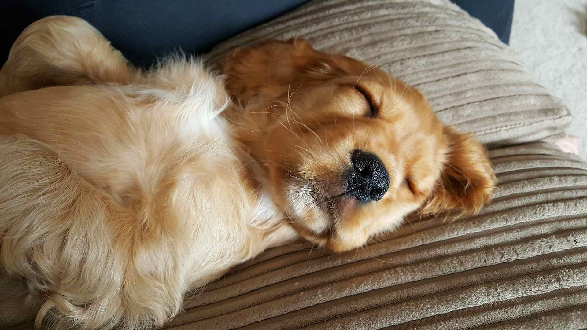 Dog sleeping on two pillows