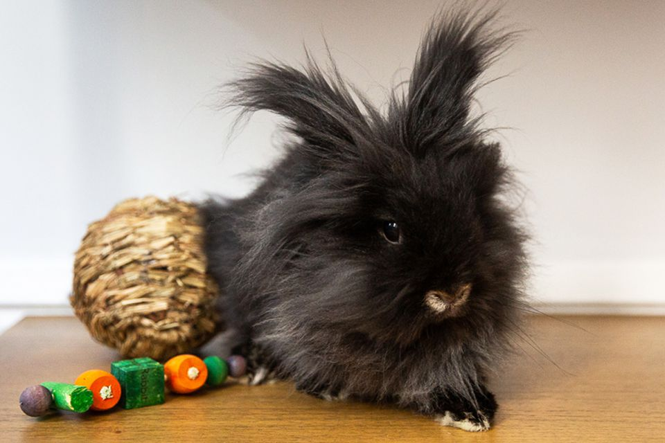 Black pet rabbit with long and fluffy hair next to toy