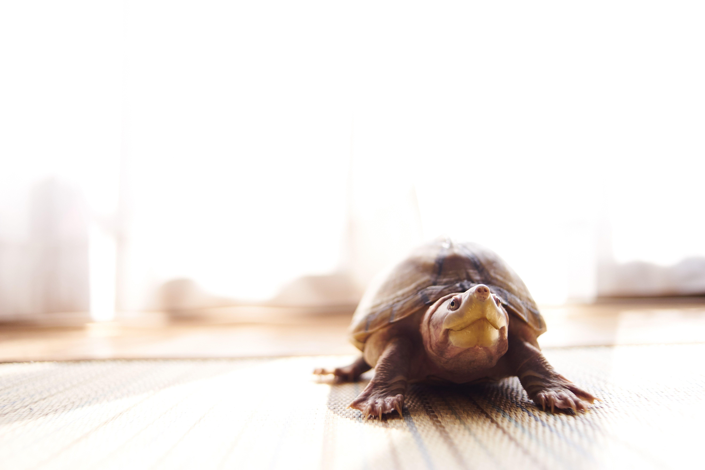 Tortuga en el piso en casa