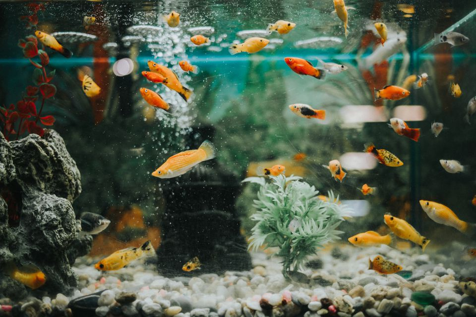 A healthy freshwater aquarium with a variety of fish and decor