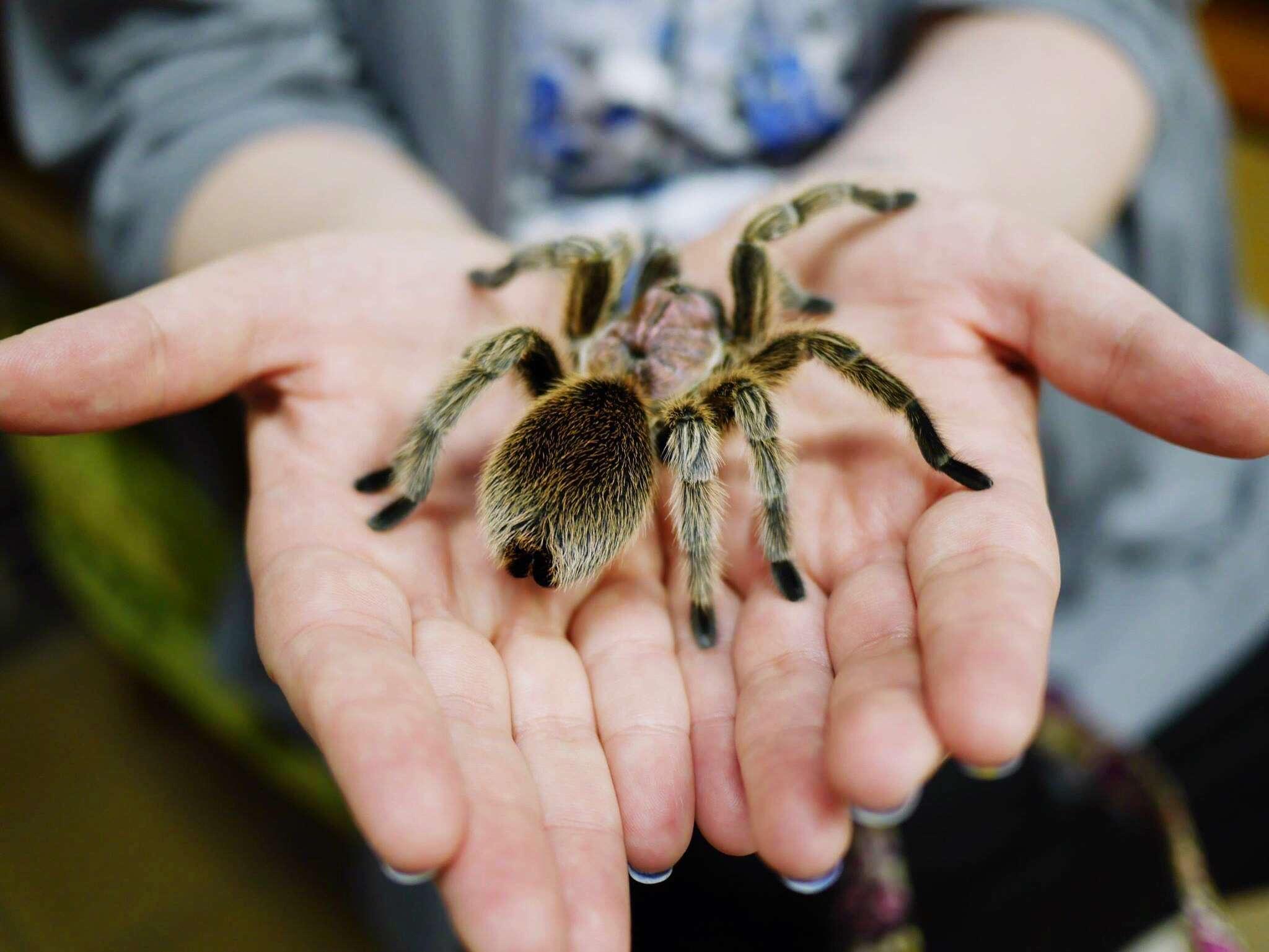 a tarantula in a person's palms