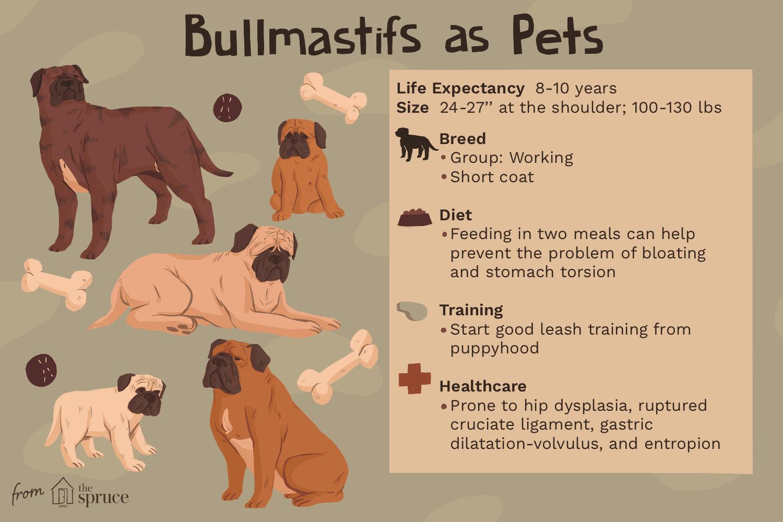 bullmastifs as pets illustration