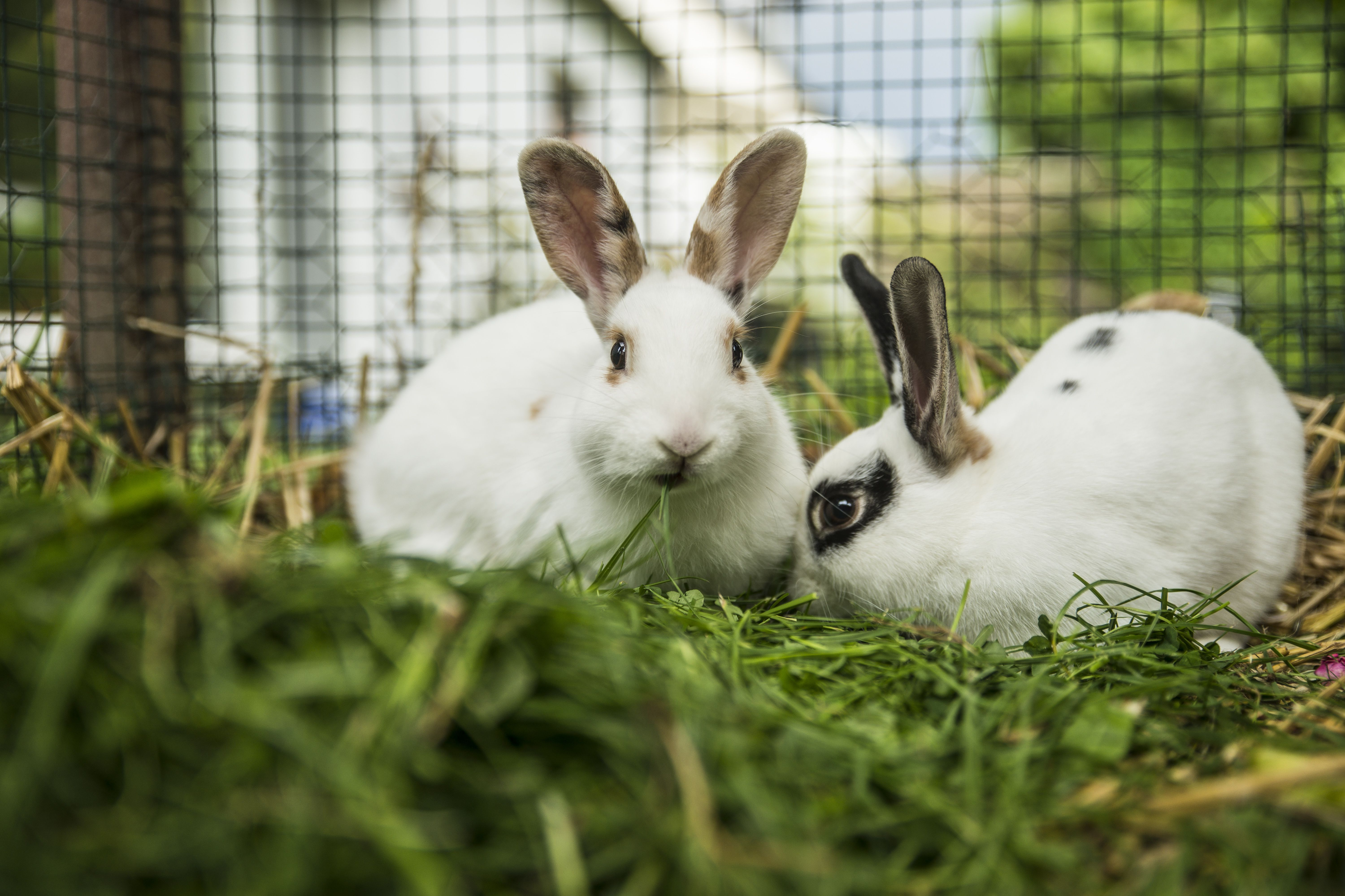 Two rabbits in a cage on a meadow