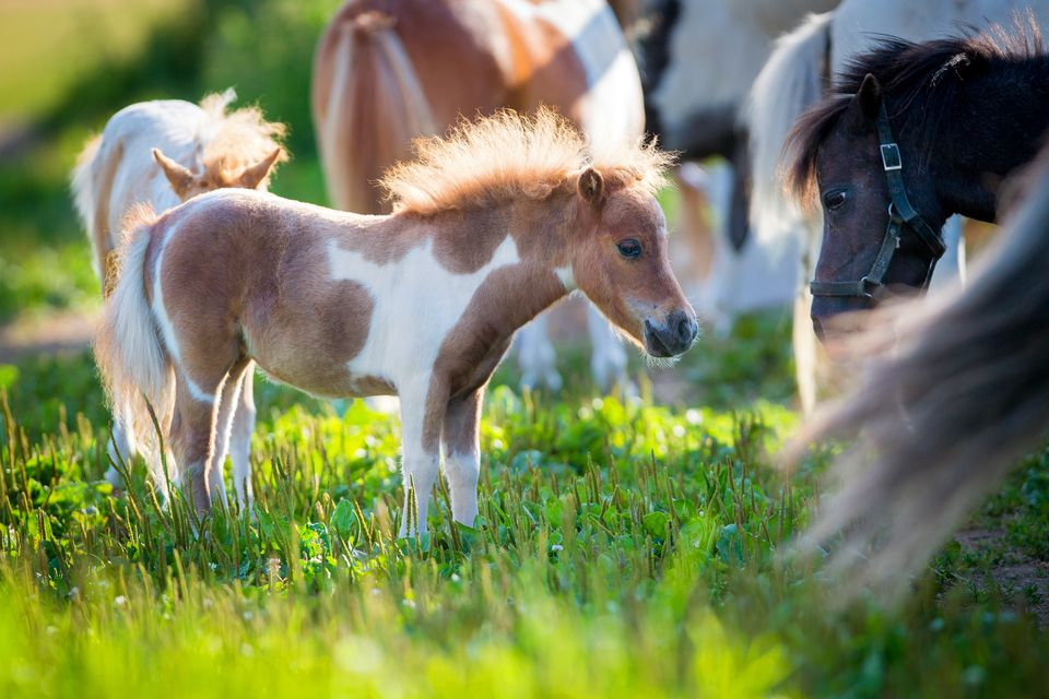 herd of small horses in pasture 5ab3afefa9d4f