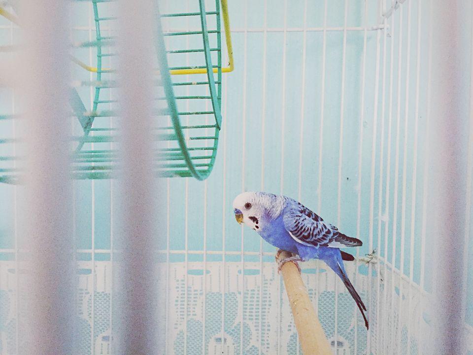 Budgerigar In Cage