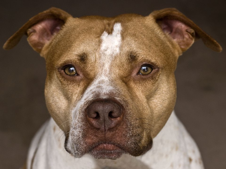 historia del pit bull terrier americano