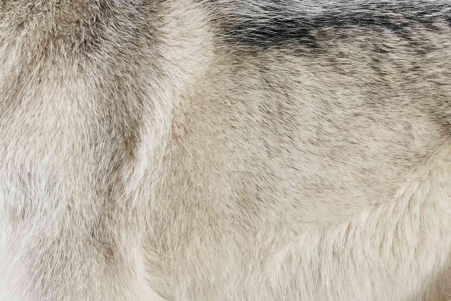 Primer plano de la piel de un husky siberiano