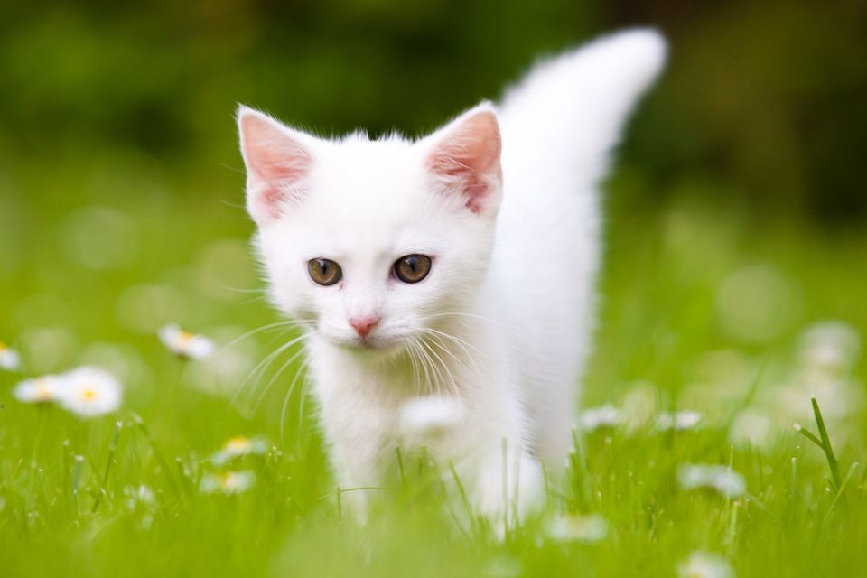 White Kitten on the Grass