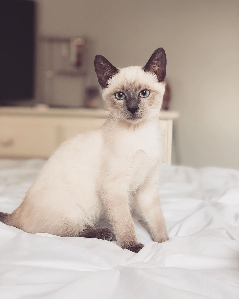 A Siamese cat sitting on a bed and looking into the camera.