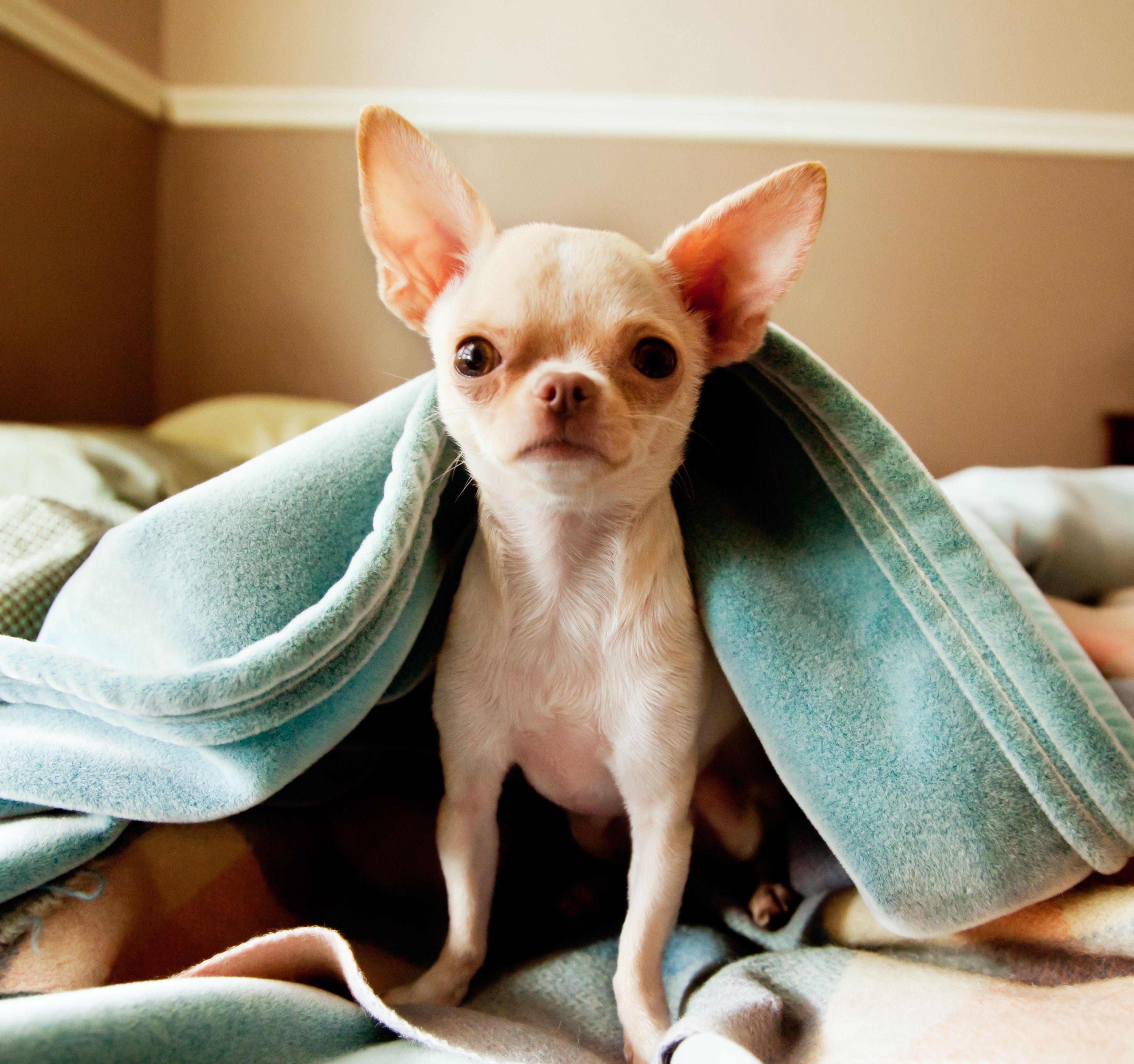 Chihuahua debajo de las mantas
