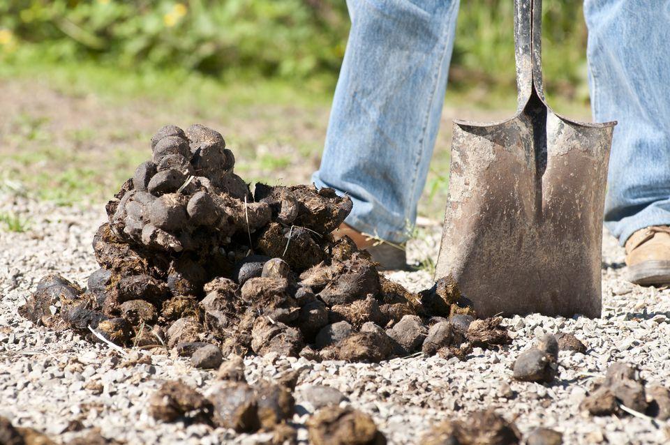 Shoveling horse dung