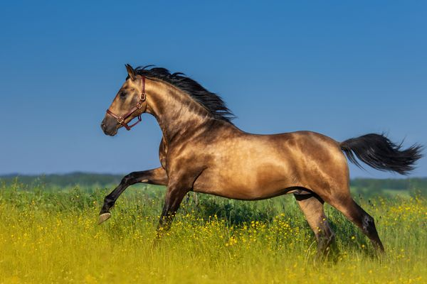 Bay Andalusian stallion cantering