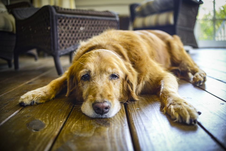 Older dog lying down on the floor