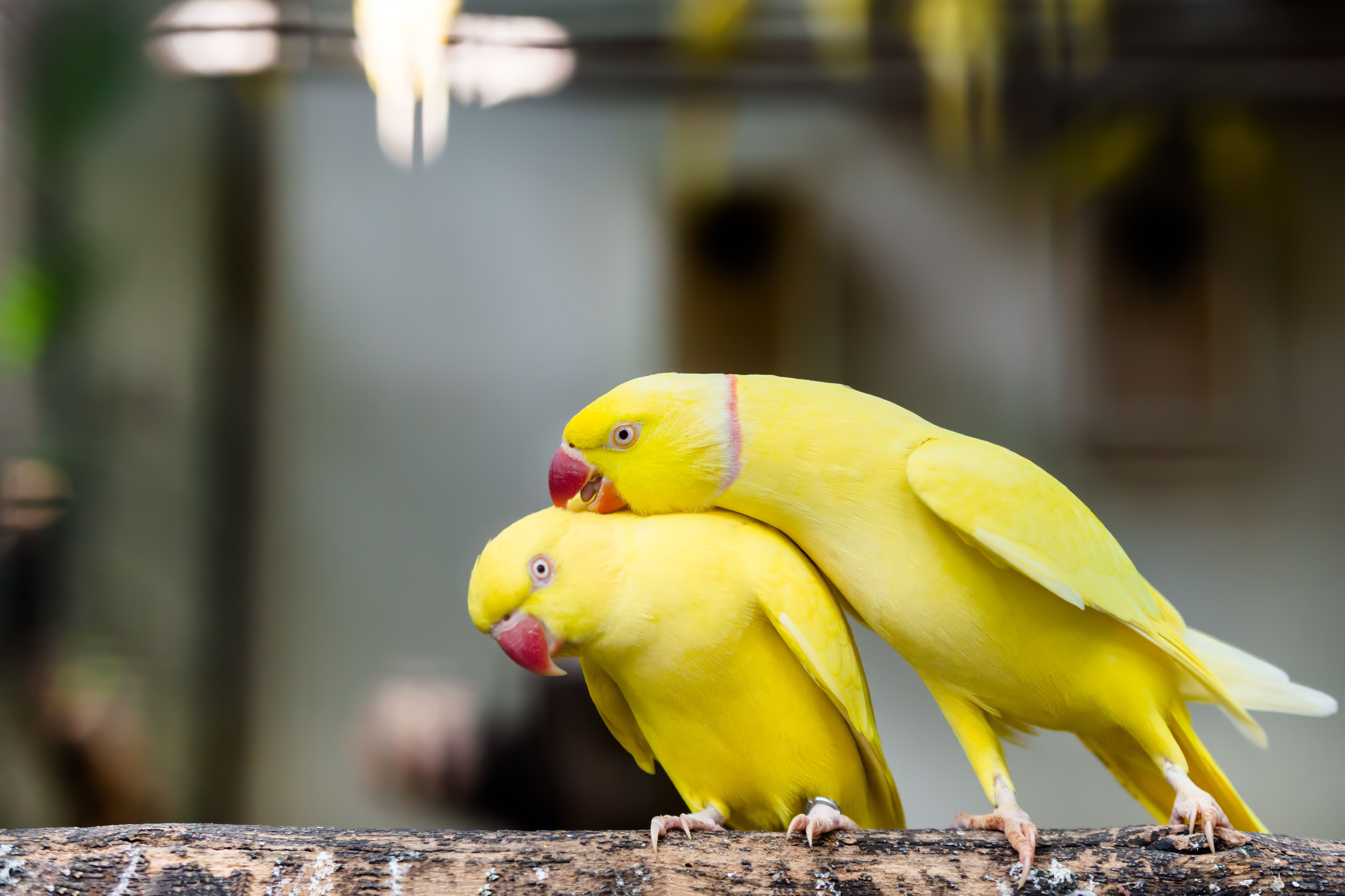 Indian Ringneck Parakeets by thevetscare.com