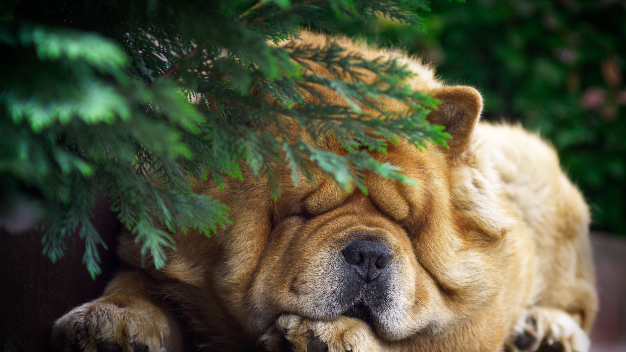 Chow Chow Full Profile History And Care