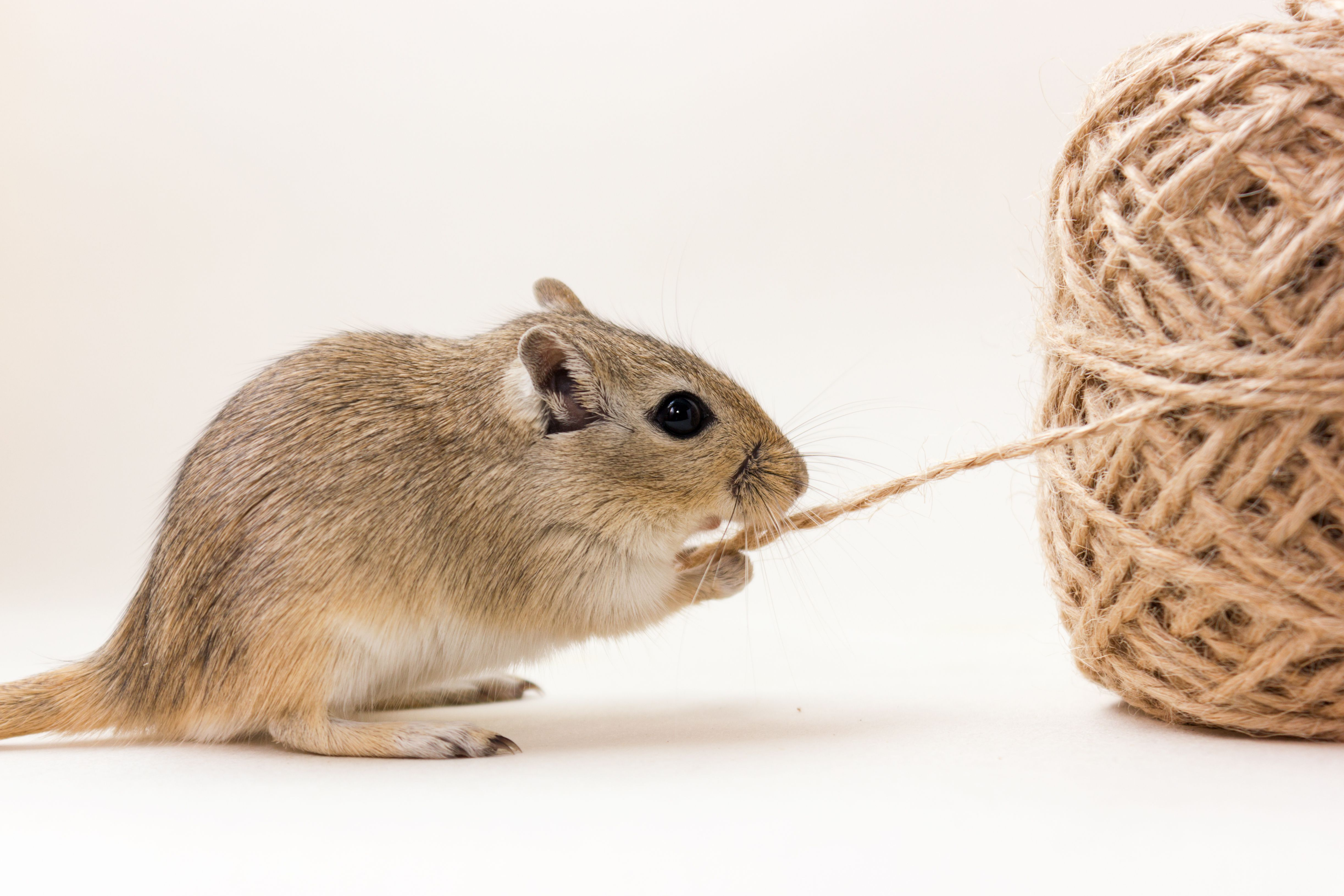 Gerbil chewing on twine attached to a large ball.