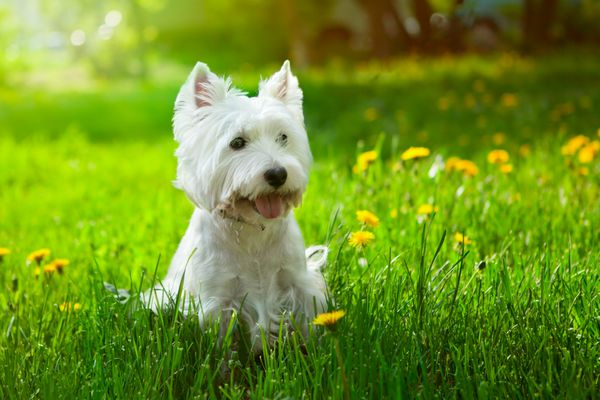 A terrier with long, white hair and pointy ears sitting in grass.