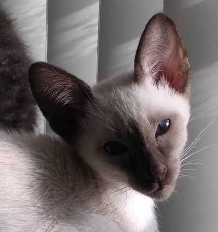 siamese cats picture gallery featuring pictures of meezers