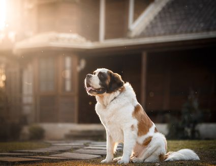 large dog smiling in the sun
