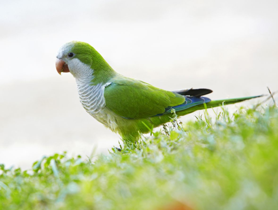 Quaker Parakeet talking pet parrot by thevetscare.com