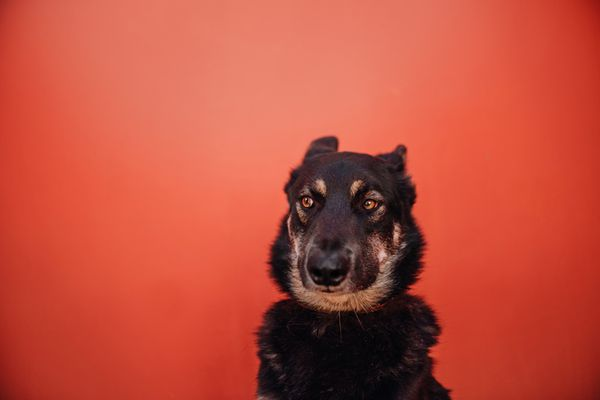 Shepherd mix with ears back sitting against a red background